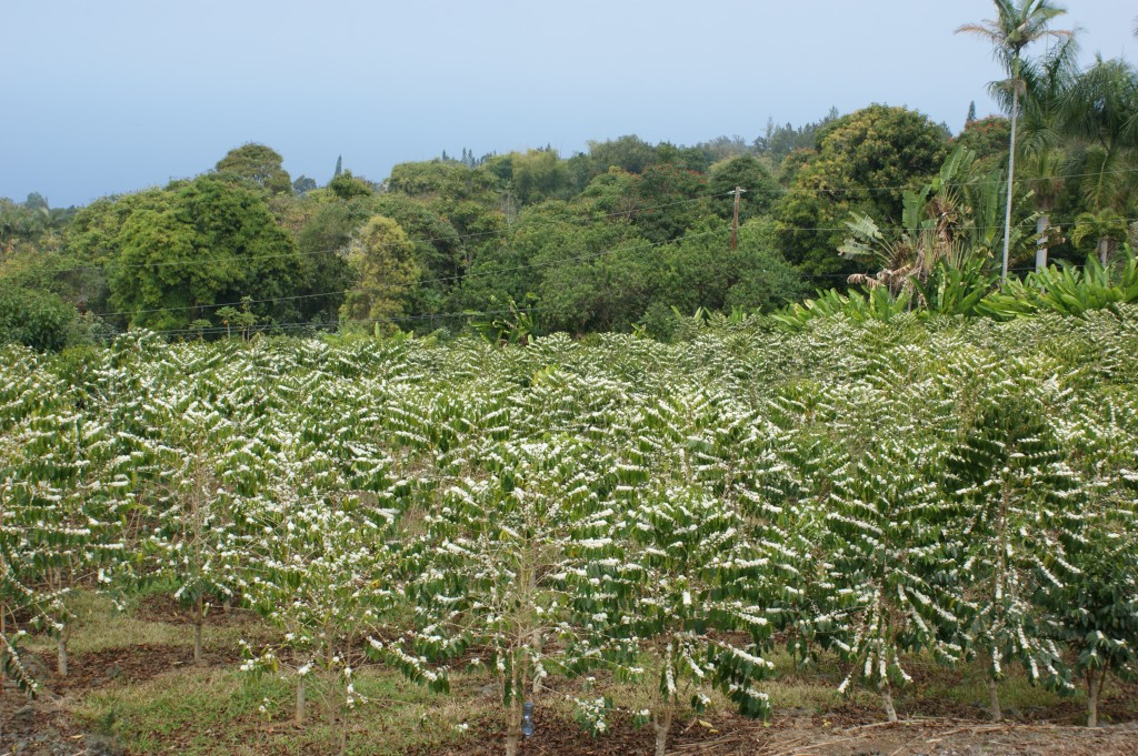 Kona King Coffee Farm